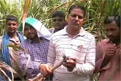 karnal sugarcane sickness weight prevention