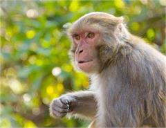 old lady monkey attack