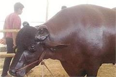 haryana  jhajjar  animal exhibition  shahenshah