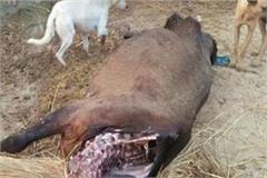 avara dogs who dug the dead cow