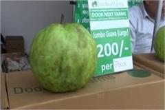 1kilo 700grams of jumbo guava showing in gita festival