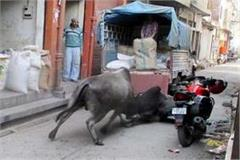 two bulls clashed the middle of the market  traffic closed for an hour