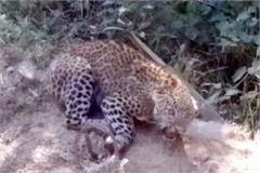 leopard  s injured cub found  panic in people