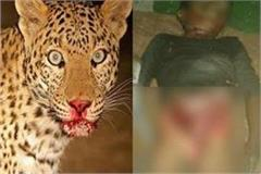man eating leopard  s havoc  made out of home