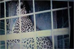 leopard trapped in hunter traps  villagers panic