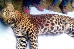 leopard  kufri  museum  grace