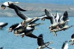 pong dam  wild life by 80 samples of exotic birds