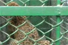 leopard caught by police and forest department team
