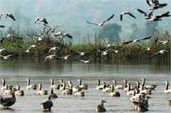12  in migratory birds spotted at harike wetlands