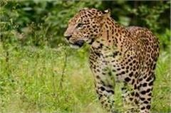 bsatiawala farms and  the farmers fearful of appearing leopard