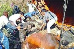 the truck overturned in the ditch filled with illegal animals 5 killed