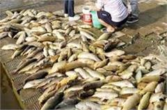 1200 quintals of fishes  s death in one day in the holy lake