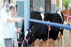 cow baby born