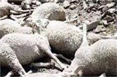 here sky electricity has wreak havoc 200 sheep goat of death