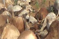 35 cows dead in storm