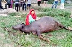 electric shock came in the fields  buffalo such saved the life of mistress