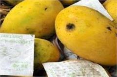 cancer mango fruit