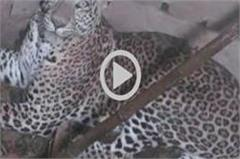 leopard has injured two people in this village of up  panic among people