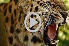 leopard panic in up  enters the house and creates hunting cattle