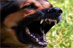 crazy stray dogs cut half a dozen people