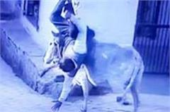 in this district of up there is a time when awaara bull  farmers take it