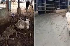 cows dead in nandigaram gaushala
