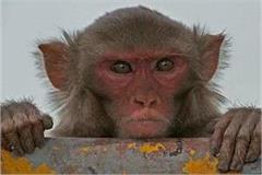 monkeys launched terror in up