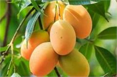 mango bumper crop hopes to blow up storm storm