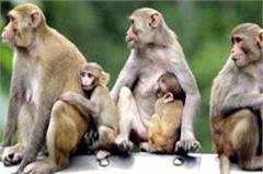 monkeys attack in phc  7 patients injured including bmo