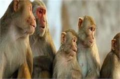 here the headache made for the monkey farmers the crop is bad