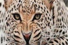 leopard again spreads panic