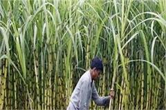 sugar cane cultivators