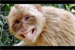 elderly death due to rocks of monkeys