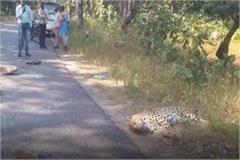 unknown vehicle collides with leopard dies