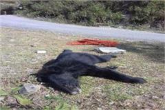 leopard nacha bear cubs death