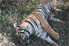 male tiger s body found in the forest of sivni