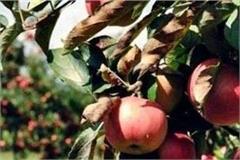snowfall has created havoc 1 crore apple crop devastated