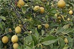 lack of demand for plant species of lemon