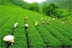 pakistan grows 22 percent in tea exports from india