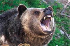 in boh of shahpur the bear attacked the woman
