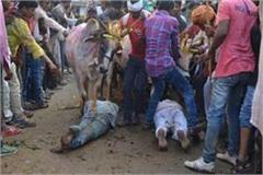 believers lying on the ground and a herd of cows coming out