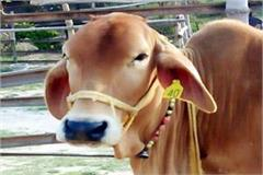 now branding of himachali desi cow will be in this name