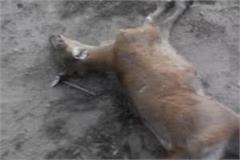 accident 1 deer died