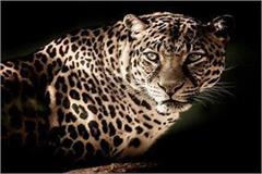 the leopard was stunned in the village the department has returned the forest