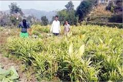farmers disappointed with the decrease in ginger yield