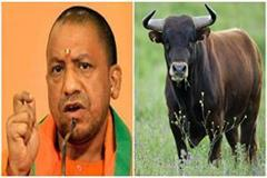 yogi adityanath announce decision on reduce numbers of bull in up