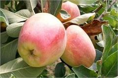 now apples will grow in haryana and punjab