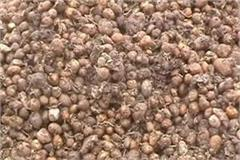 15 thousand quintals of potatoes thrown so far menace of pandemic rising