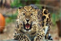 panic attacks on man eating leopards in balrampur 2 injured in mosques
