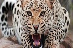 man attacked the leopard attacked two people working in farm